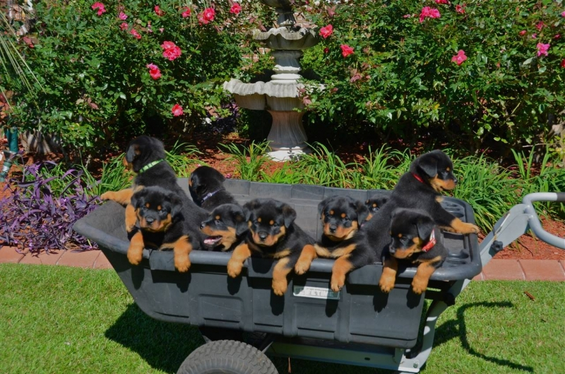 Davinci Rottweilers Breeder Of Champion Rottweilers Locations In